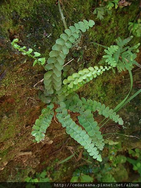 圓葉鱗始蕨