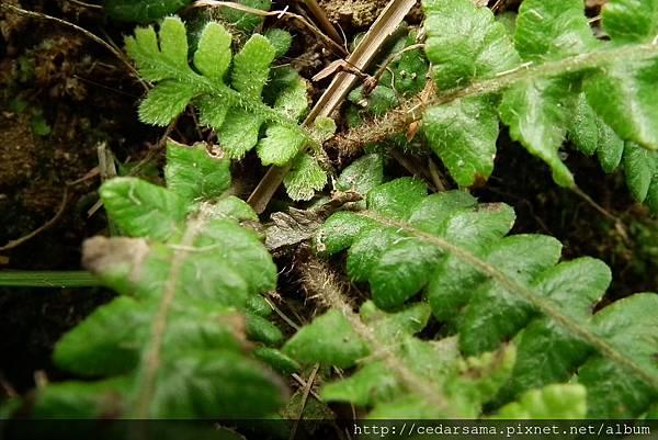 短柄卵果蕨