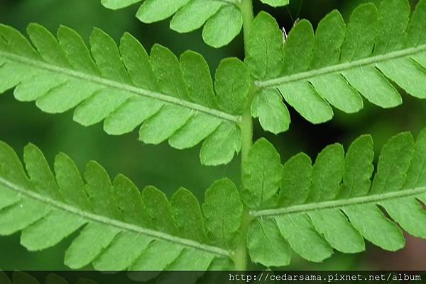 縮羽金星蕨