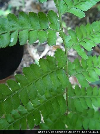 粗毛鱗蓋蕨Microlepia strigosa (Thunb.) Pres