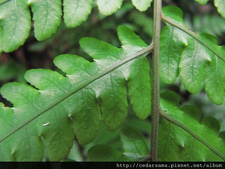 網脈突齒蕨