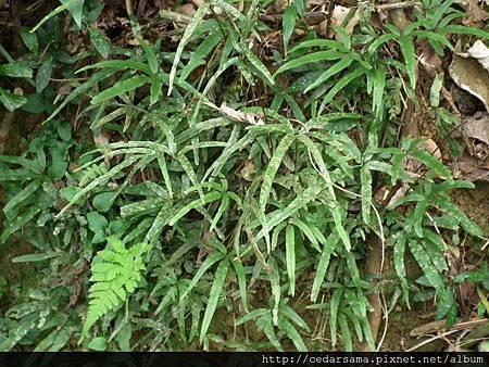 栗柄鳳尾蕨