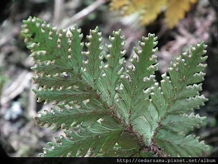 鱗葉陰石蕨