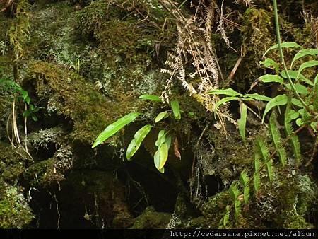 阿里山舌蕨