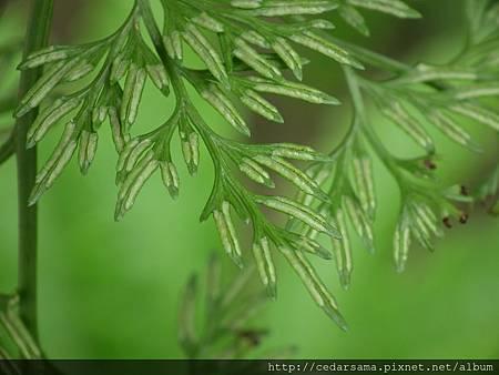日本金粉蕨