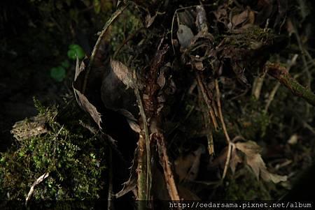 細齒貫眾蕨