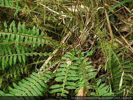 Plagiogyria stenoptera (Hance) Diels 耳形瘤足蕨