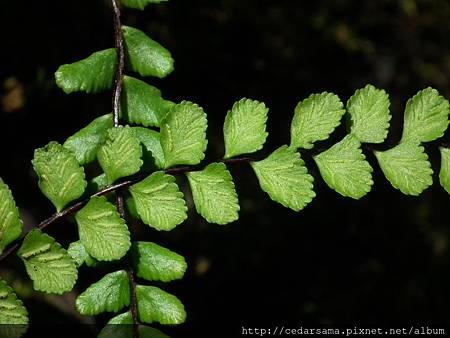 三翅鐵角蕨Asplenium tripteropus Nakai