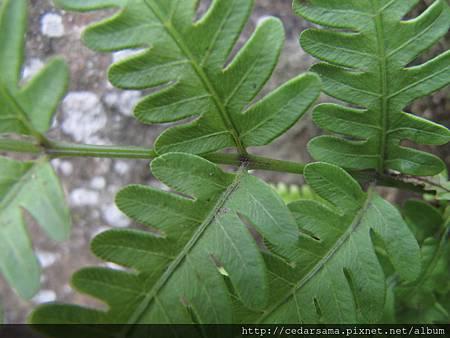 弧脈鳳尾蕨 Pteris biaurita L.