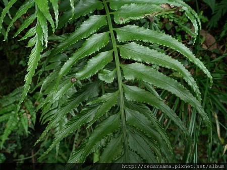 萊氏鐵角蕨 Asplenium wrightii Eaton