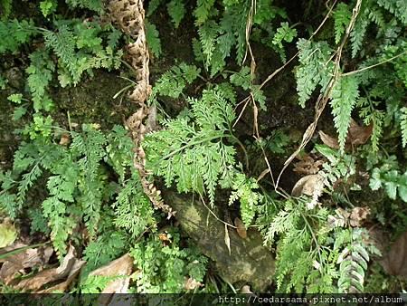 尖葉鐵角蕨 Asplenium ritoense Hayata