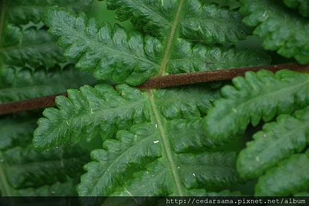 Pseudophegopteris paludosa (Bl.) Ching  毛囊紫柄蕨