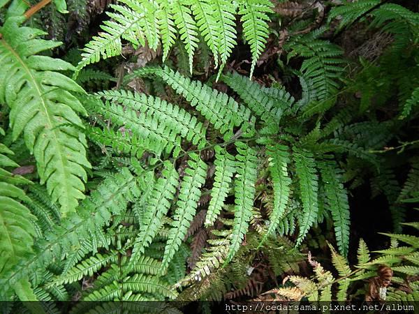Arachniodes rhomboides (Wall.) Ching var. yakusimensis (H. Ito) Shieh 屋久複葉耳蕨