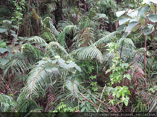 烏毛蕨Blechnum orientale L.