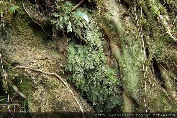 廣義的細葉蕗蕨Hymenophyllum polyanthos