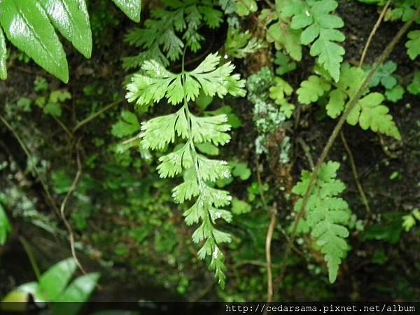 Lindsaea chienii Ching 闊片鱗始蕨