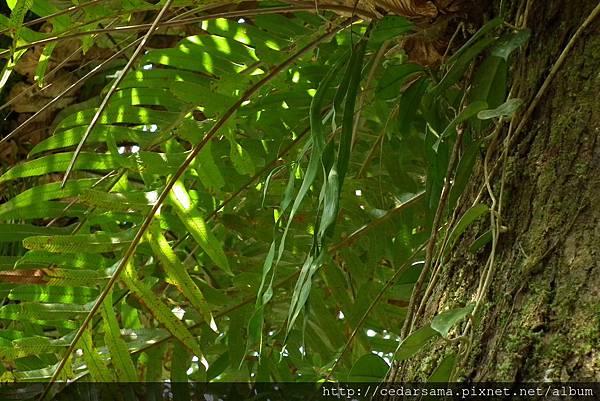 帶狀瓶爾小草Ophioglossum pendulum L.