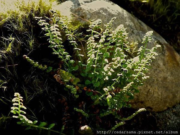 綠柄鐵角蕨
