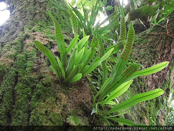 Lepisorus thunbergianus (Kaulf.) Ching 瓦葦