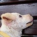 氣質青年狗