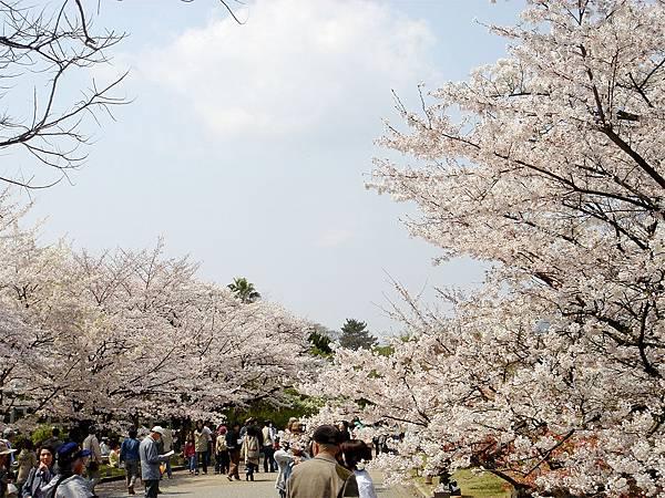 京都府立植物園(櫻林).jpg