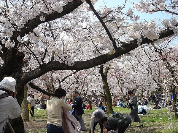 京都府立植物園(櫻林一).jpg