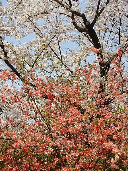 京都府立植物園(櫻林七).jpg