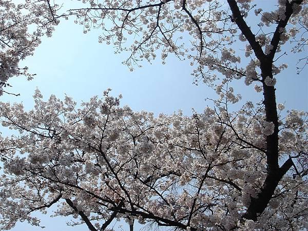 京都府立植物園(櫻林二).jpg