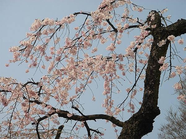 京都府立植物園(櫻林三).jpg