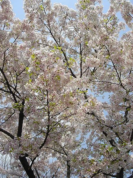 京都府立植物園(櫻林五).jpg