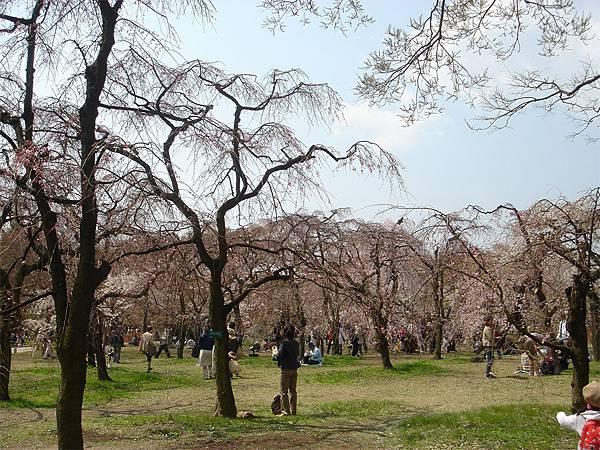 京都府立植物園(櫻林四).jpg