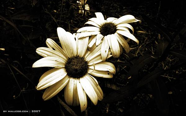 Daisy_Decay_by_wallcoo_com.jpg
