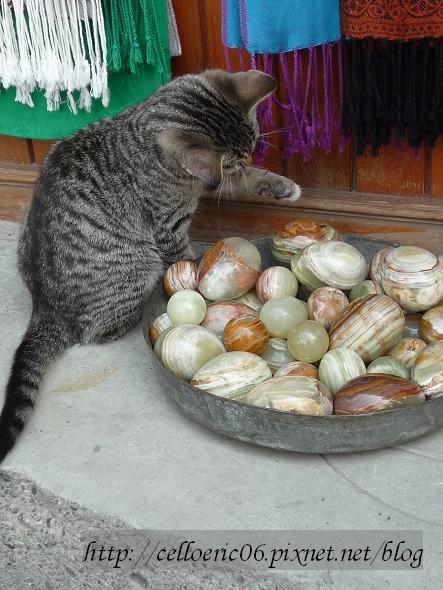 土耳其的貓