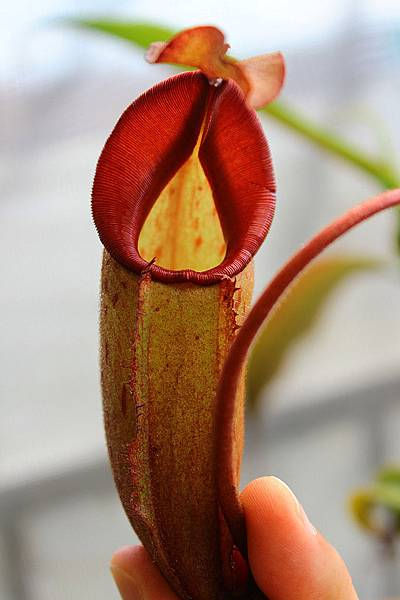 thorelii x(eymae x veitchii)
