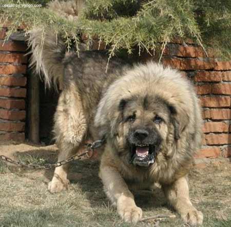 01西藏獒犬.jpg