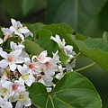 杜旻峰-油桐花