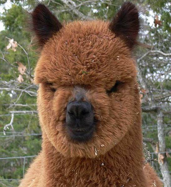 funny_alpacas_hairstyle7