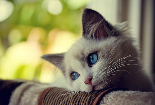 blue,eyed,kitty,cats,love,cat,photography,adorable,animal-06236f8063450bf3695d49df08fa672a_h