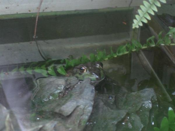 生態暖房─樹蛙.JPG