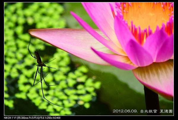 120609--Zhide Waterlily V1 158-800_nEO_IMG-shadow