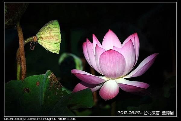 nEO_IMG_130623--ZD Yuan waterlily 002-800