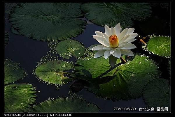nEO_IMG_130623--ZD Yuan waterlily 046-800