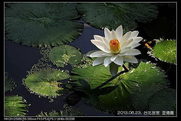 nEO_IMG_130623--ZD Yuan waterlily 047-800
