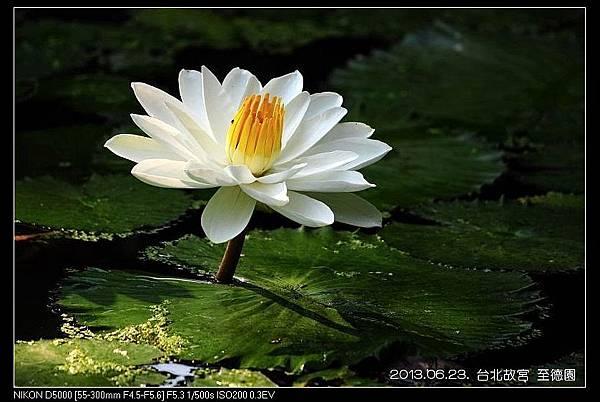 nEO_IMG_130623--ZD Yuan waterlily 053-800