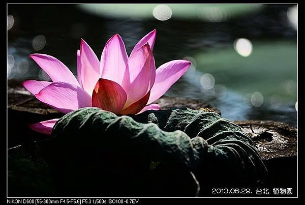 nEO_IMG_130629--Waterlily D600 083-800.jpg
