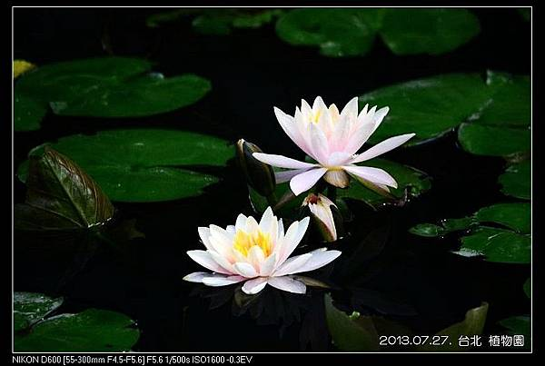 nEO_IMG_130727--Waterlily D600 129-800.jpg