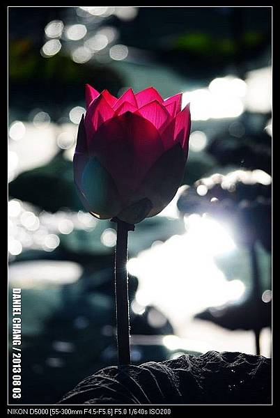 nEO_IMG_130803--Waterlily D5000 028-800.jpg