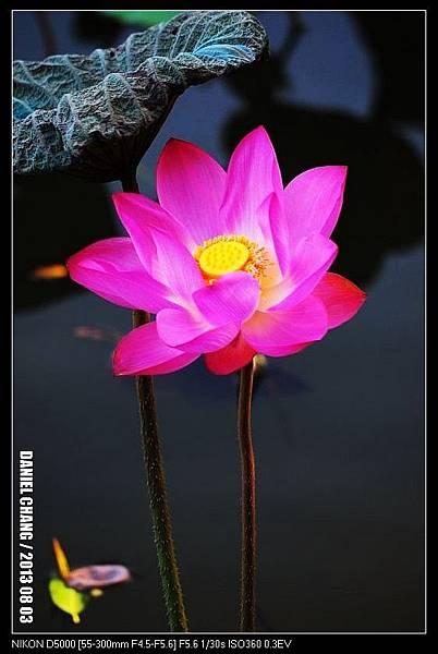 nEO_IMG_130803--Waterlily D5000 057-800.jpg