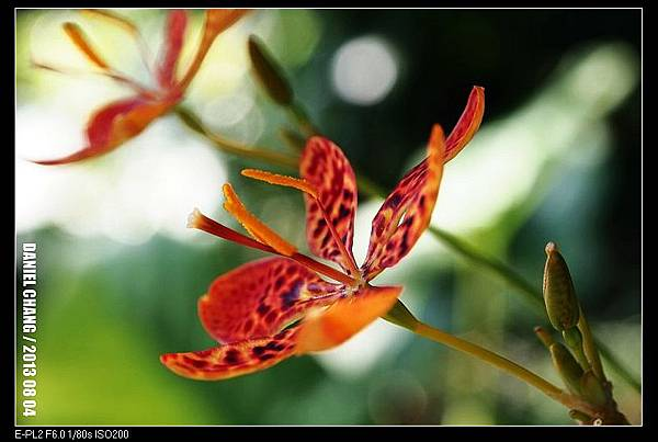 nEO_IMG_130804--Blackberry lily 006-800.jpg
