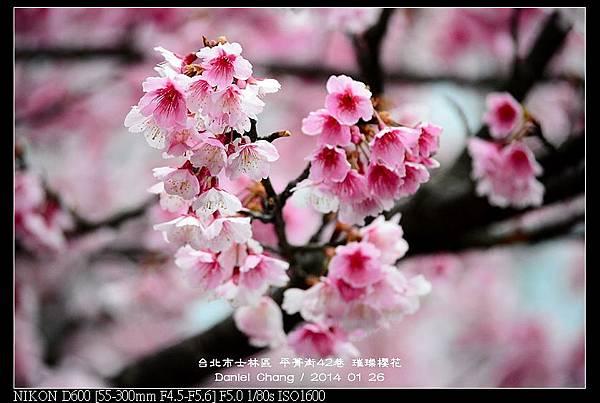 nEO_IMG_140126--Cherry blossom 020-800.jpg